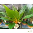 Chlorophytum Green Orange Narancsvulkán