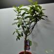 Citrus Sinensis Calabrese