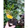 Citrus limon Meyer / Meyer citrom