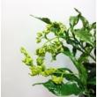Clerodendrum prospero