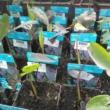 Colocasia rubra Black Magic