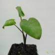 Colocasia esculenta / Taró