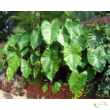 Colocasia esculenta Fontenesii