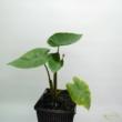 Colocasia esculenta Hawaiian Punch