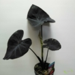 Colocasia esculenta Black coral