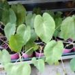 Colocasia pink china