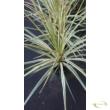 Cordyline Torbay Dazzler variegated
