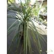 Cordyline australis Green / Déli bunkóliliom