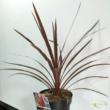 Cordyline australis Red Star