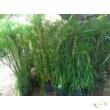 Cyperus papyrus Percamentus / Óriás törpe papirusz