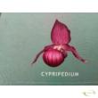 Cypripedium rózsaszín