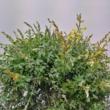 Cytisus x racemosus