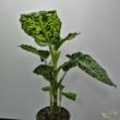 Dieffenbachia reflector