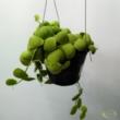 Dischidia platyphylla
