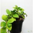 Dischidia pectenoides Apple Leaf