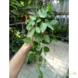 Dischidia pectenoides Melon (Hoya Watermelon)