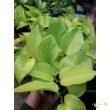 Epipremnum pinnatum Golden Pothos