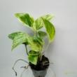 Epipremnum pinnatum Marble Queen