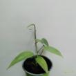Epipremnum pinnatum Cebu Blue
