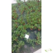 Epipremnumaureum Shangri la/ Green Javelin