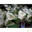 Epipremnum pinnatum Happy Leaf