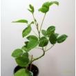 Erythrina cristagalli