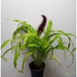 Pennisetum glaucum Jade Princess