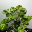 Farfugium Japonicum Aureomaculatum