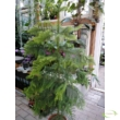 Araucaria heterophylla / Norfolk-szigeti araukária