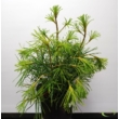 Sciadopitys verticillata / Japán ernyőfenyő