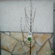 Metasequoia glyptostroboi (Mamutfenyő)
