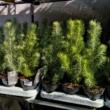 Pinus pinea Silver Crest / Ezüst mandulafenyő