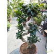 Ficus Ginseng (Ficus retusa) S forma