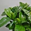 Gardenia jasminoides
