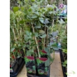 Rubus fruticosus Black Satin / Fekete szeder