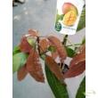 Mangifera indica Mango