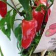 Paprika pick-&-joy(r) red pepper
