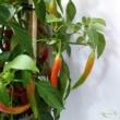 Paprika pick-&-joy(r) hot chili red