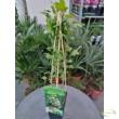 Ribes uva-crispa / Egres