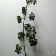 Rubus fruticosus Thornless Evergreen