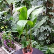 Heliconia hawaii