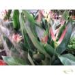 Heliconia hawaii / Rákollóvirág