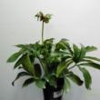 Helleborus lila