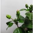 Hibiscus Narancs