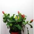 Hibiscus Piros