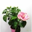 Hibiscus Rózsaszín
