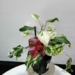 Hibiscus variegata