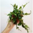 Hoya Krohniana Green