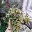 Hoya lacunosa Heart Leaf