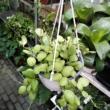 Hoya sp. Sulawesii